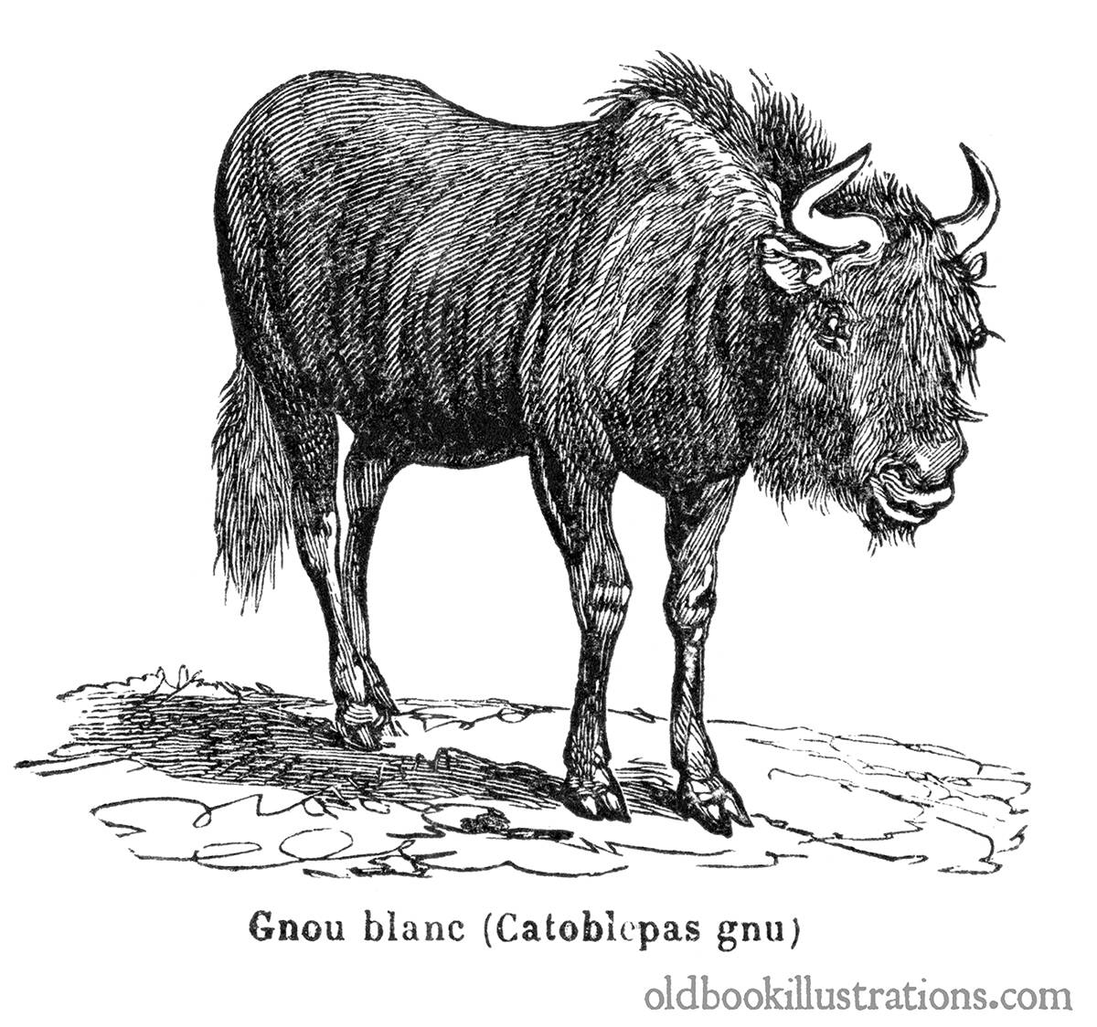 Image of a Wildebeest